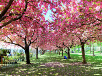 Botanical Gardens a New York Cerisiers en Fleurs
